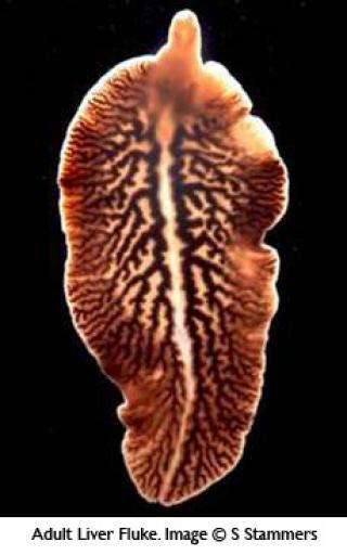 Fluke Parasite >> Parasites And Climate Change Implications For Scottish