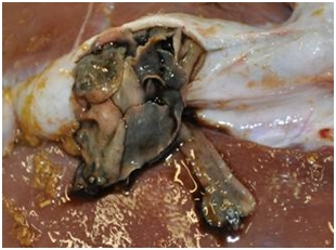 Adult liver fluke escaping from the bile duct of a sheep at post-mortem