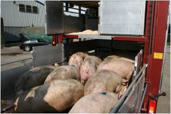 Pigs being loaded into a lorry