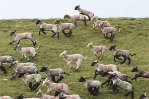 Lamb 'get up and go'